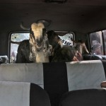 Children look on as they carry a goat in their vehicle on the eve of Eid al-Adha in Mumbai, India, Monday, Dec. 8, 2008. (AP Photo/Manish Swarup)