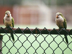 Two parrots on a fence in Brooklyn