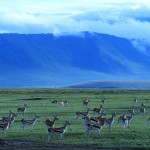 Gazelles in the Ngorongoro Crater, Tanzania