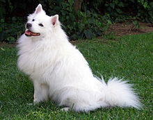 Fluffy white dog