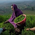 Herb harvesting in Tanzania